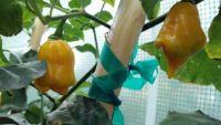 Fresh Trinidad Scorpion Yellow Cardi 1/2lb